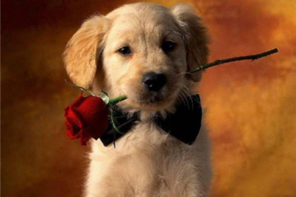宠物叼着玫瑰求婚